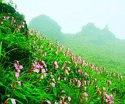 Phiyowon blooms at Mount Hoyang, Kachui (Ukhrul District) #2 :: Gallery