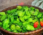 Certified organic U-Morok( King Chilly) at Shirarakhong, Ukhrul District :: Gallery