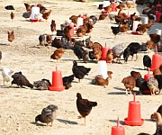 Health management of poultry :: Part 1